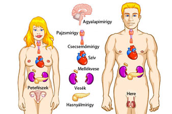 Endokrin rendszer