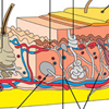 A bőr anatómiája