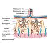 Placenta anatómiája